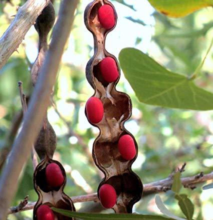 mescal bean