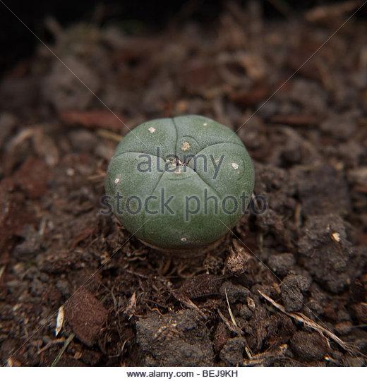 mescal button