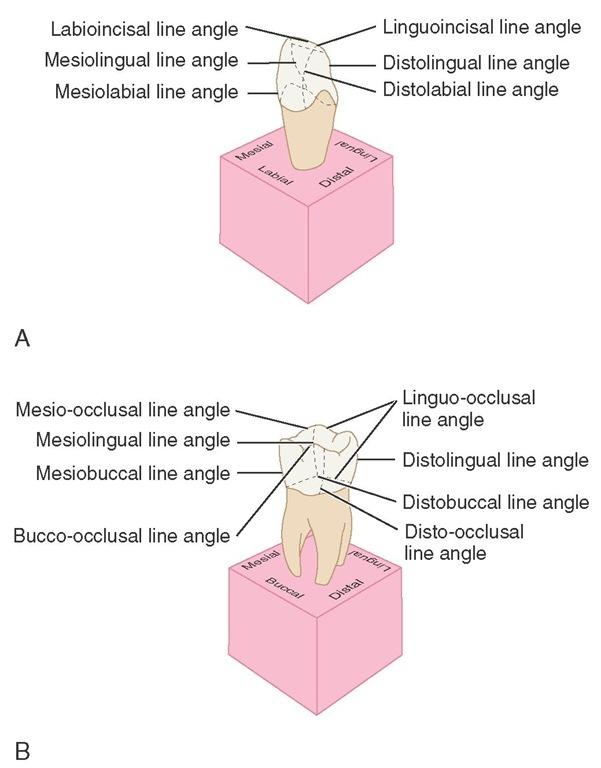 mesiolabial