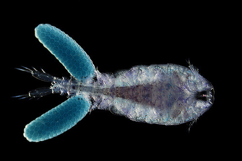 mesoplankton