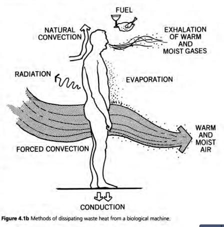 metabolic heat