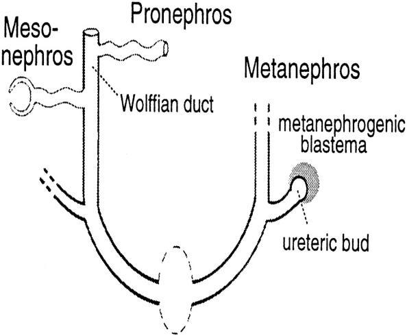 metanephros