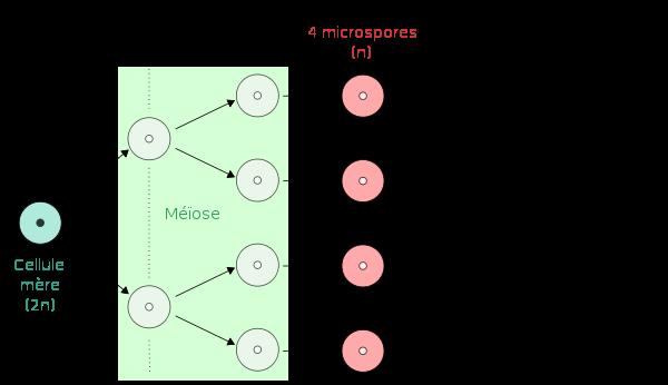microspore