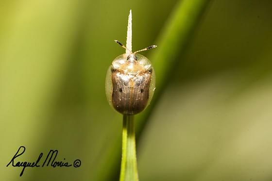 milkweed tortoise beetle