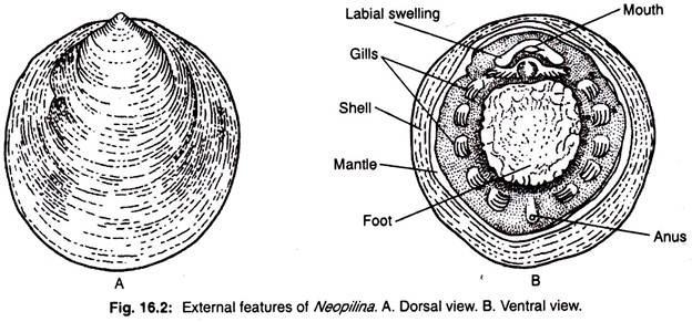 neopilina