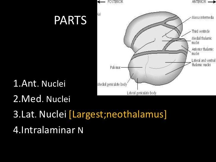 neothalamus