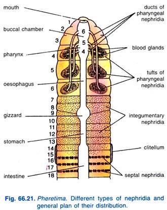 nephridia