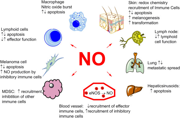 nitric oxide - Liberal Dictionary