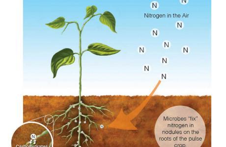 nitrogen fixer