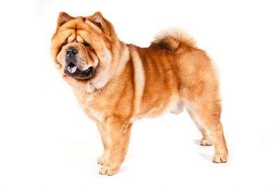 non-sporting dog