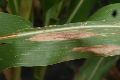 northern corn-leaf blight