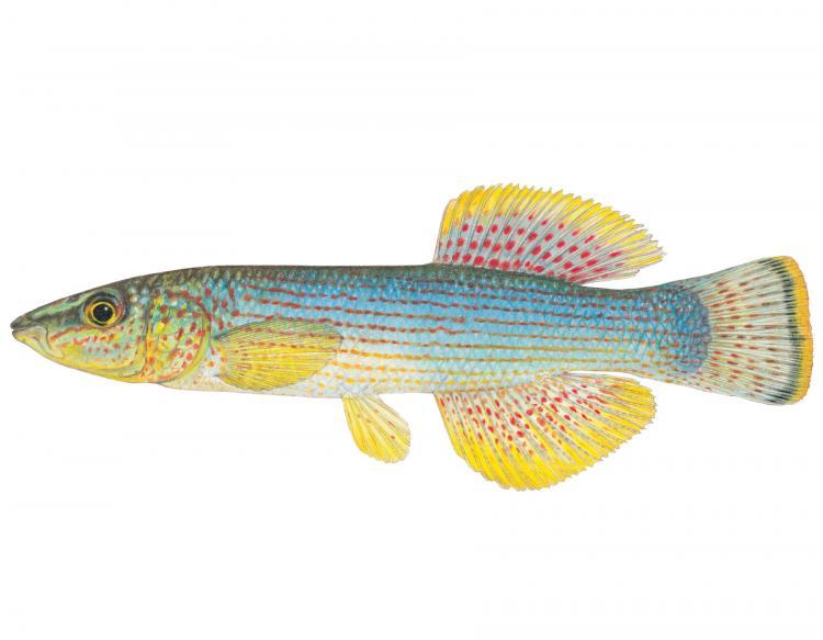northern studfish