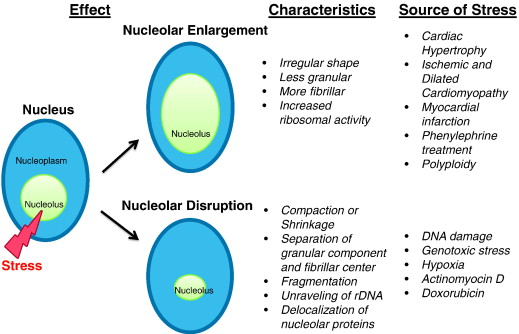nucleolar