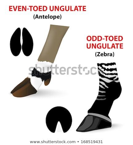 odd-toed ungulate