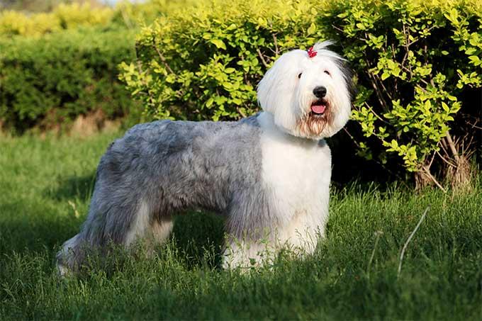 old english sheepdog