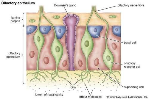 olfactory receptor cell