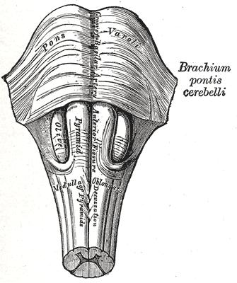 olivary body