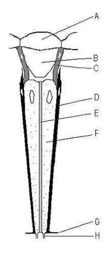 ommatidium