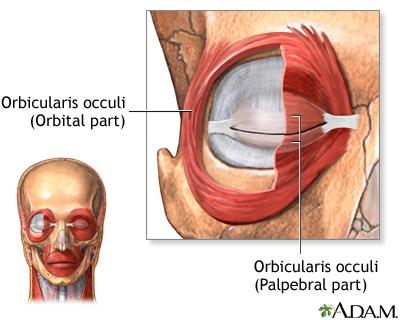 orbicular muscle of eye