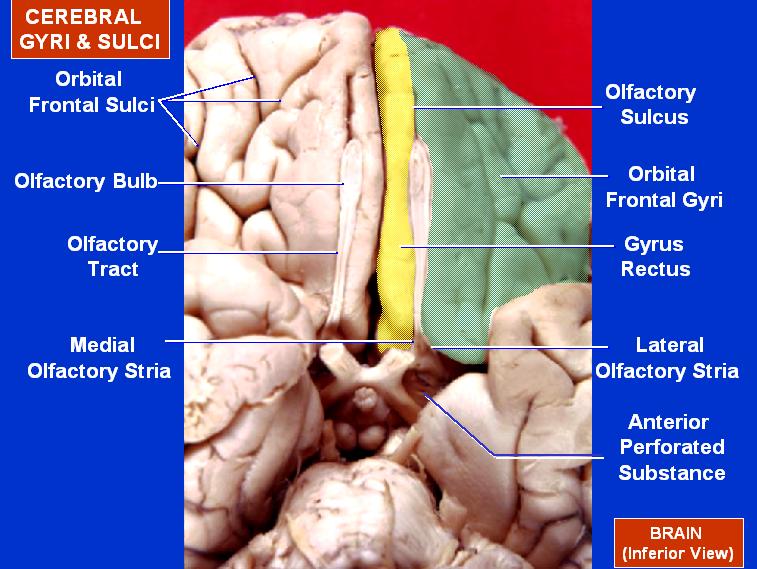 orbital gyrus