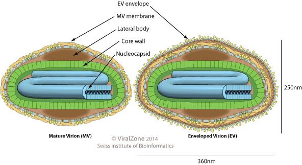 orthopoxvirus