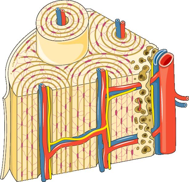 osteon