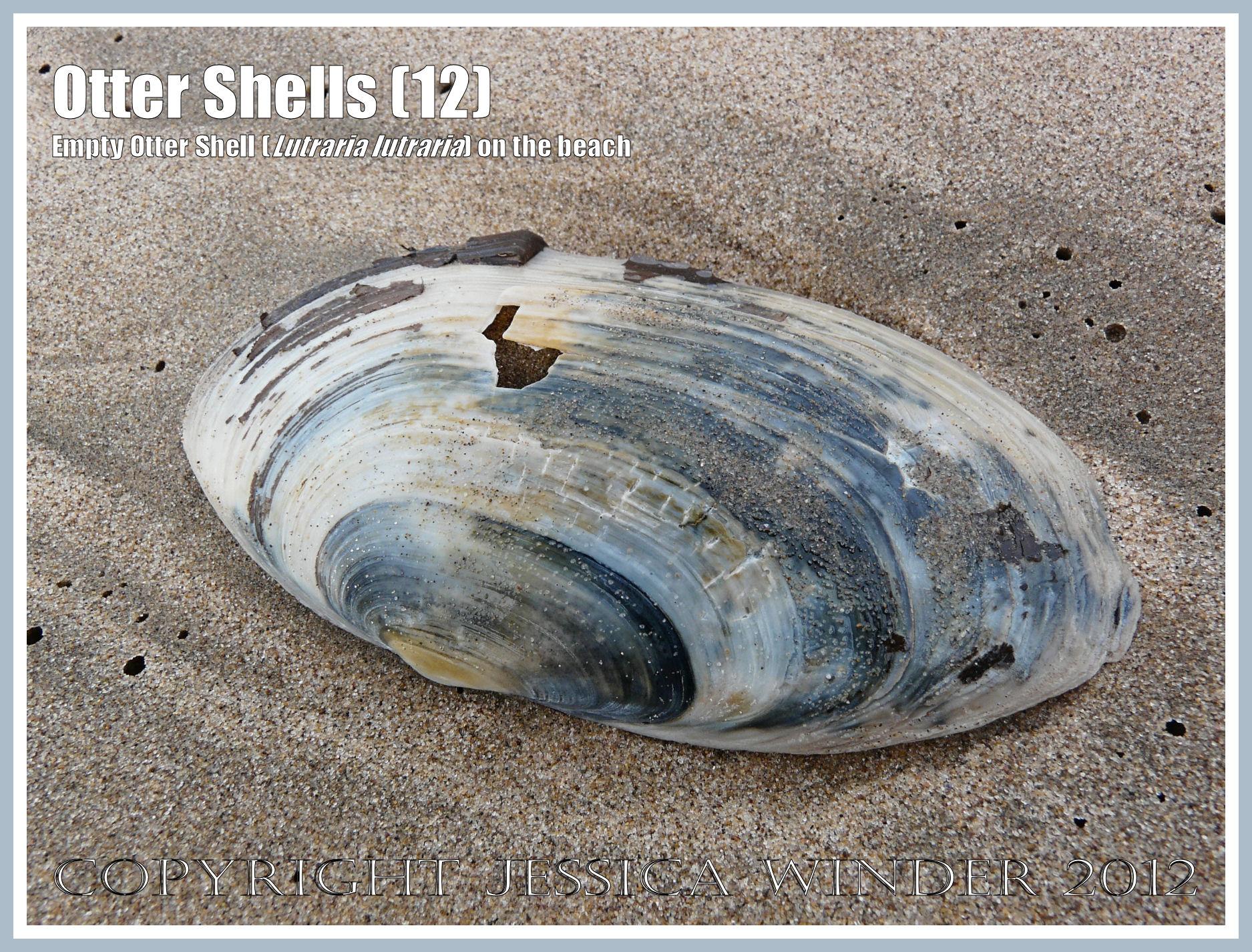 otter shell