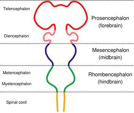 paleencephalon
