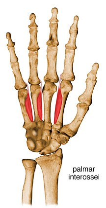 palmar interosseous muscle