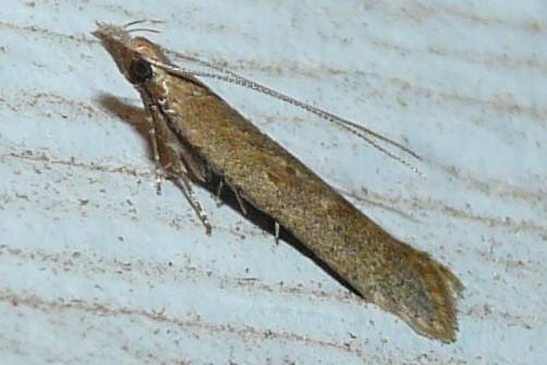 palmerworm