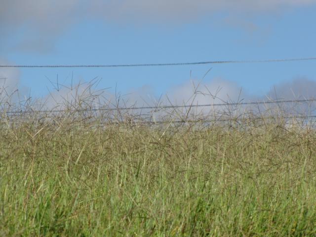 pangola grass