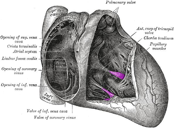 papillary muscle