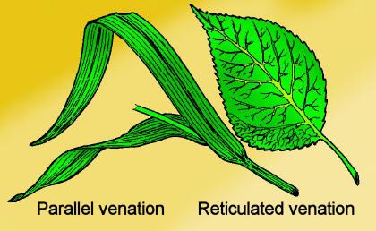parallel-veined