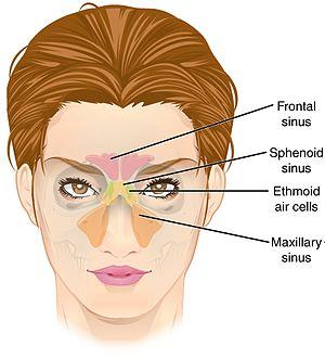 paranasal sinus