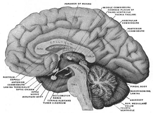 paraterminal gyrus