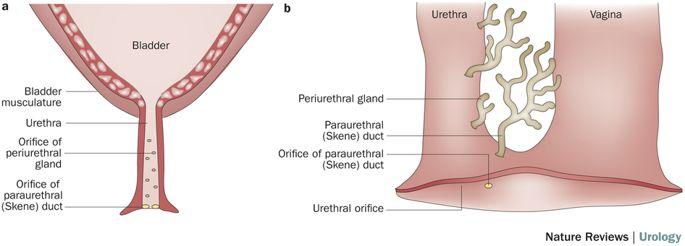 paraurethral duct