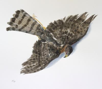 passage hawk