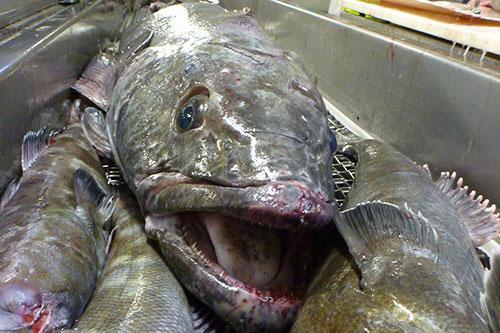 patagonian toothfish