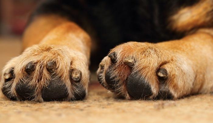 pawing