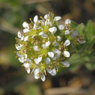 pepperwort
