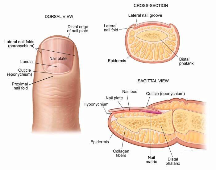 perionychium