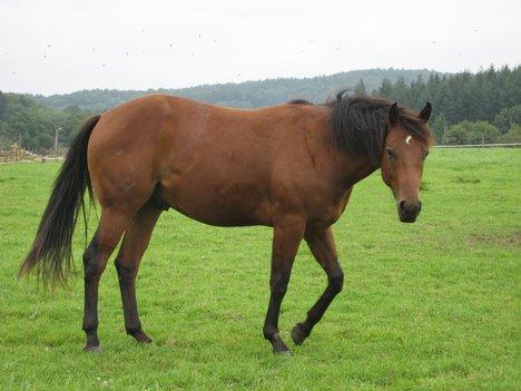 quarter-breed