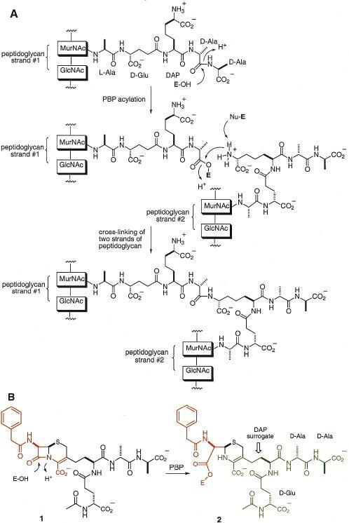 transpeptidation