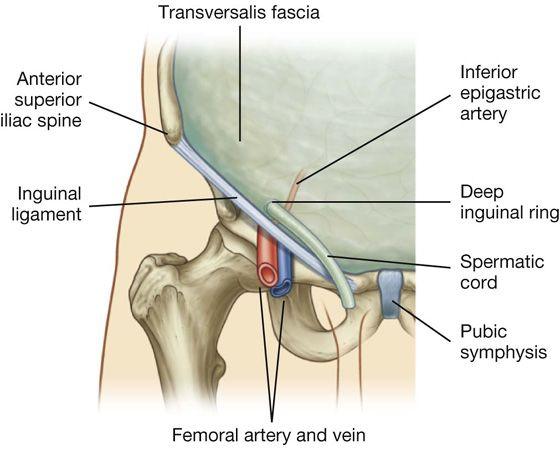 transverse fascia