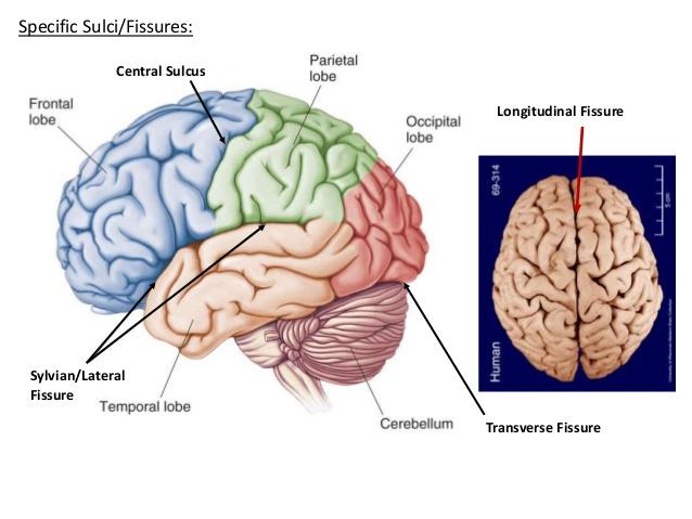 transverse fissure of cerebrum