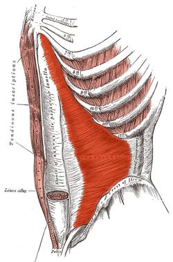 transverse muscle of abdomen