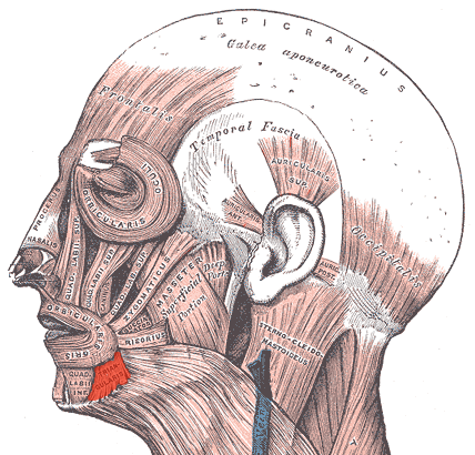 transverse muscle of chin