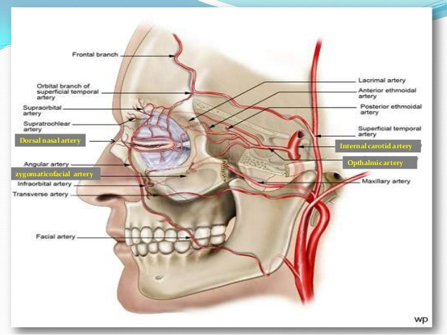 transverse vein of face