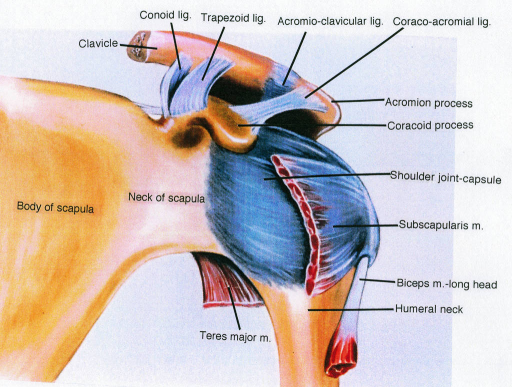 trapezoid ligament