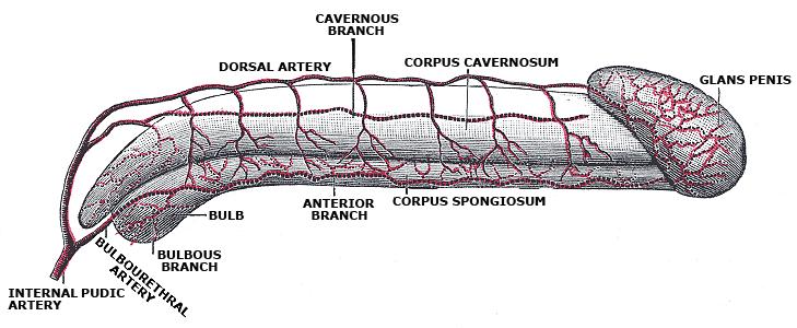 urethral artery